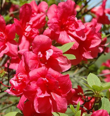 Azalea Girard's Christina 1G Rose Red