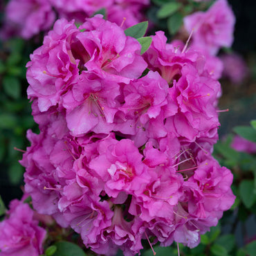Azalea Proven Winners® Perfecto Mundo® Double Purple 3G