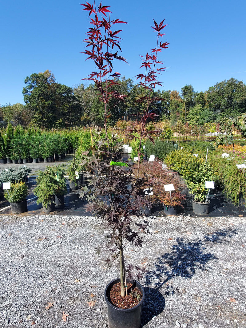 Bloodgood Japanese Maple Settlemyre Nursery Valdese NC