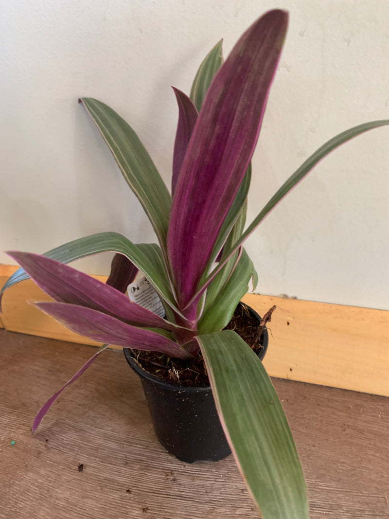 Assorted Tropical House Plant 4in