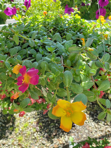 Purslane multi-color Hanging Basket