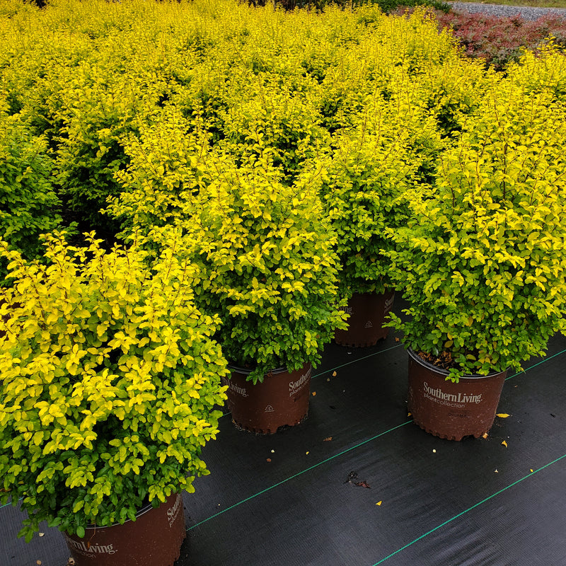 Sunshine Ligustrum Evergreen