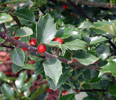 Ilex Meserveae Blue Girl Holly 3G