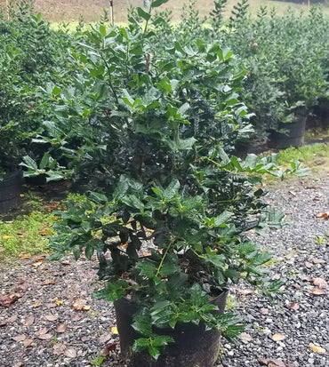 Ilex Hybrid Nellie R Stevens Holly 7G