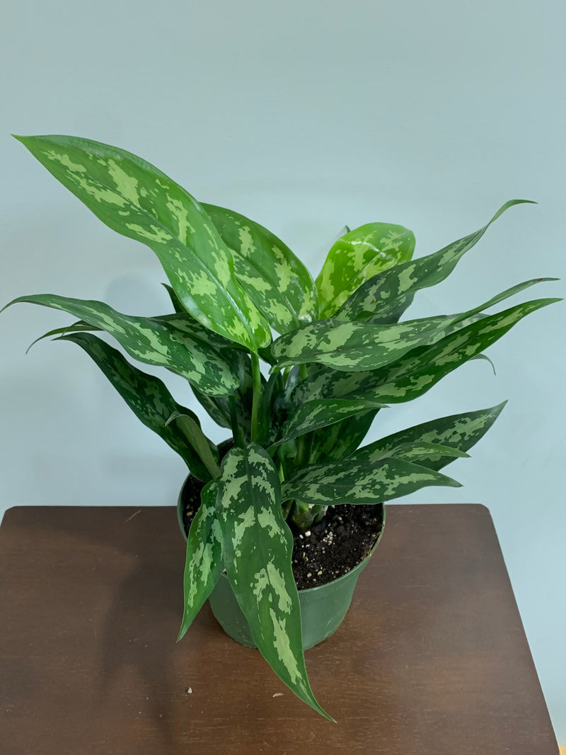 Maria Aglaonema Chinese Evergreen Hanging Basket House Plant Settlemyre Nursery Valdese NC 28690