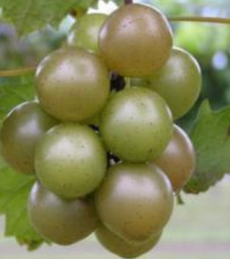 Muscadine Triumph Grape Vine