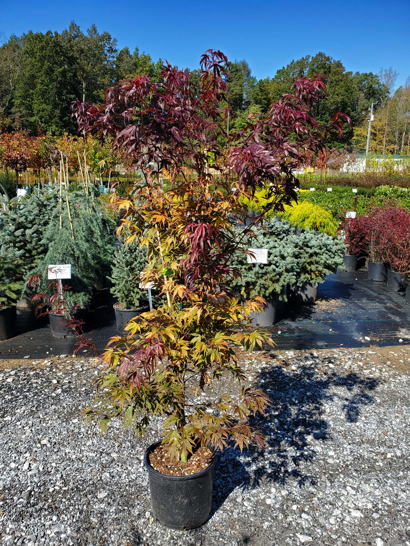 Oregon Sunset Japanese Maple Settlemyre Nursery Valdese NC