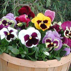 Majestic Giant Blotch Mix Pansies Flats from Settlemyre Nursery, Valdese NC