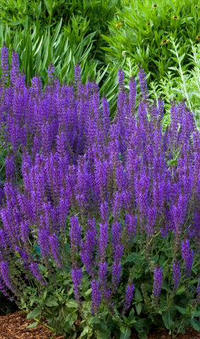 Salvia 'May Night' Flowering Perennial 1 gallon