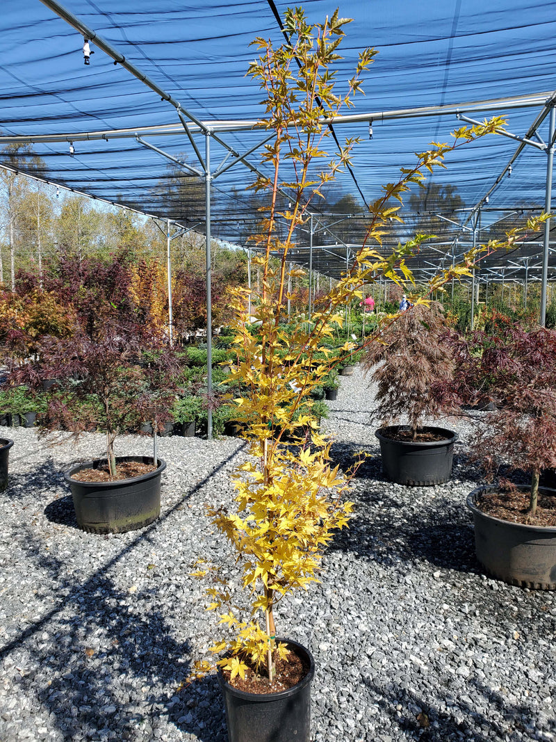 Sango Kaku Coral Bark Japanese Maple Settlemyre Nursery Valdese NC