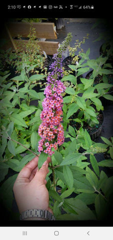 Buddleia Bi-Color Butterfly Bush 1G