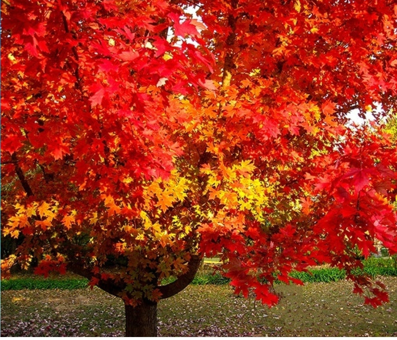 October Glory Maple Shade Tree