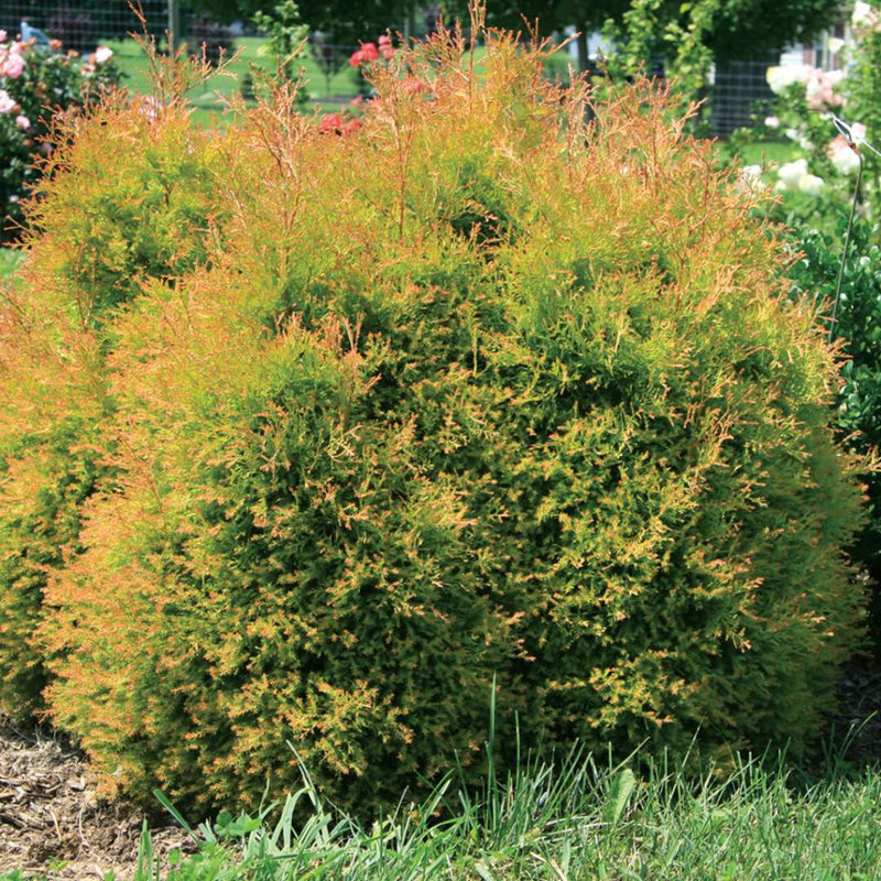 Fire Chief™ is a mutation of the popular Rheingold variety, but with much brighter foliage in the spring and deeper, more red fall color. Also less prone to splitting.