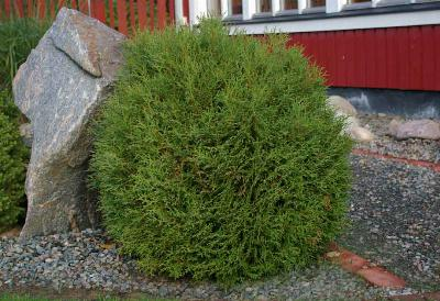 Thuja Little Giant Arborvitae 3g