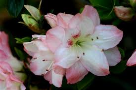 Azalea Amy 1g White & Pink Edges Mid