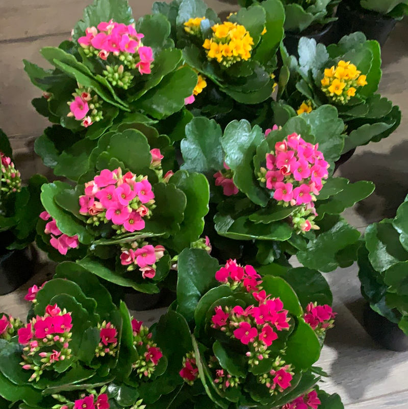 Kalanchoe House Plant 4in