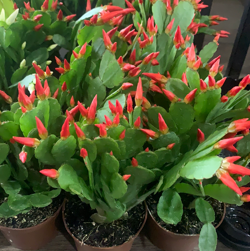 House plant Easter Cactus Assorted Colors