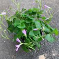Assorted Oxalis Bulbs 4in