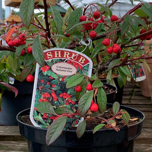 Cotoneaster Autumn Fire 3L