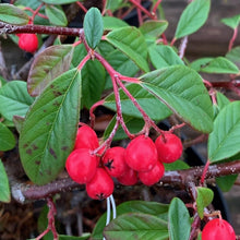 Load image into Gallery viewer, Cotoneaster Autumn Fire 3L