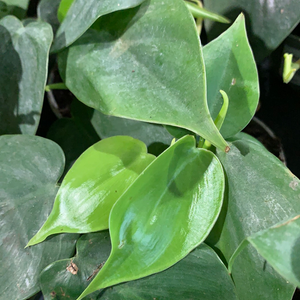 Philodendron scandens 6cm