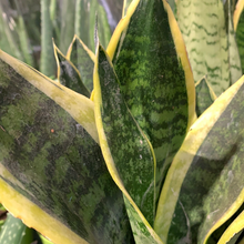 Load image into Gallery viewer, Sansevieria trifasciata 12cm