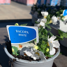 Load image into Gallery viewer, Bacopa White