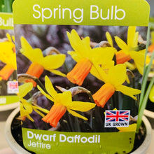 Load image into Gallery viewer, Daffodil Dwarf Jetfire
