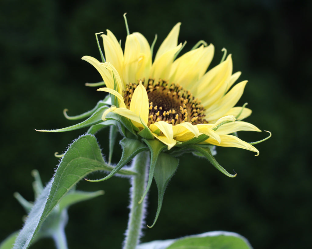 lemon sunflower