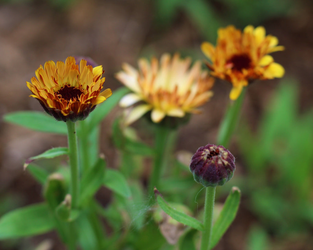 bronze beauty calendula