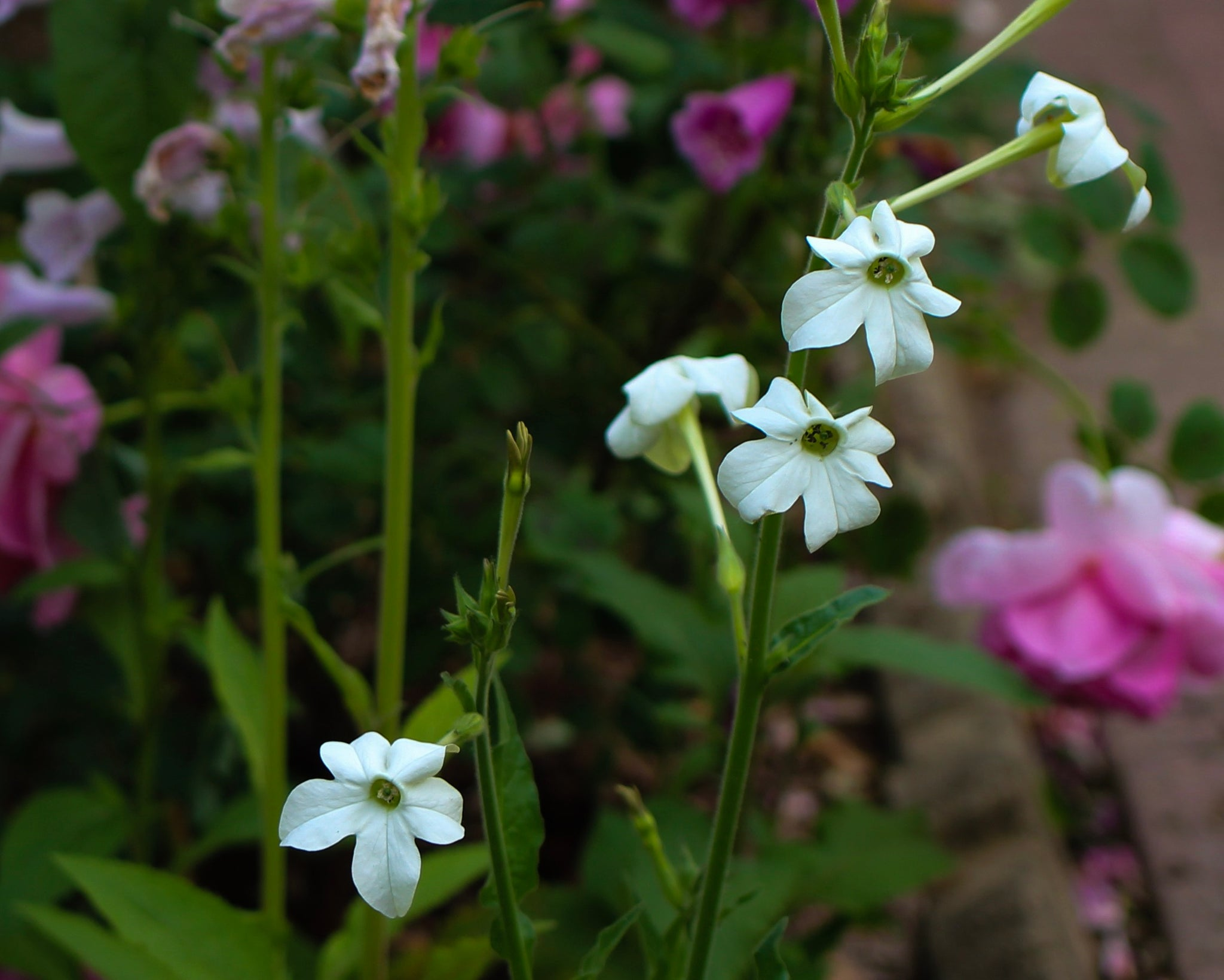 flowering nicotiana