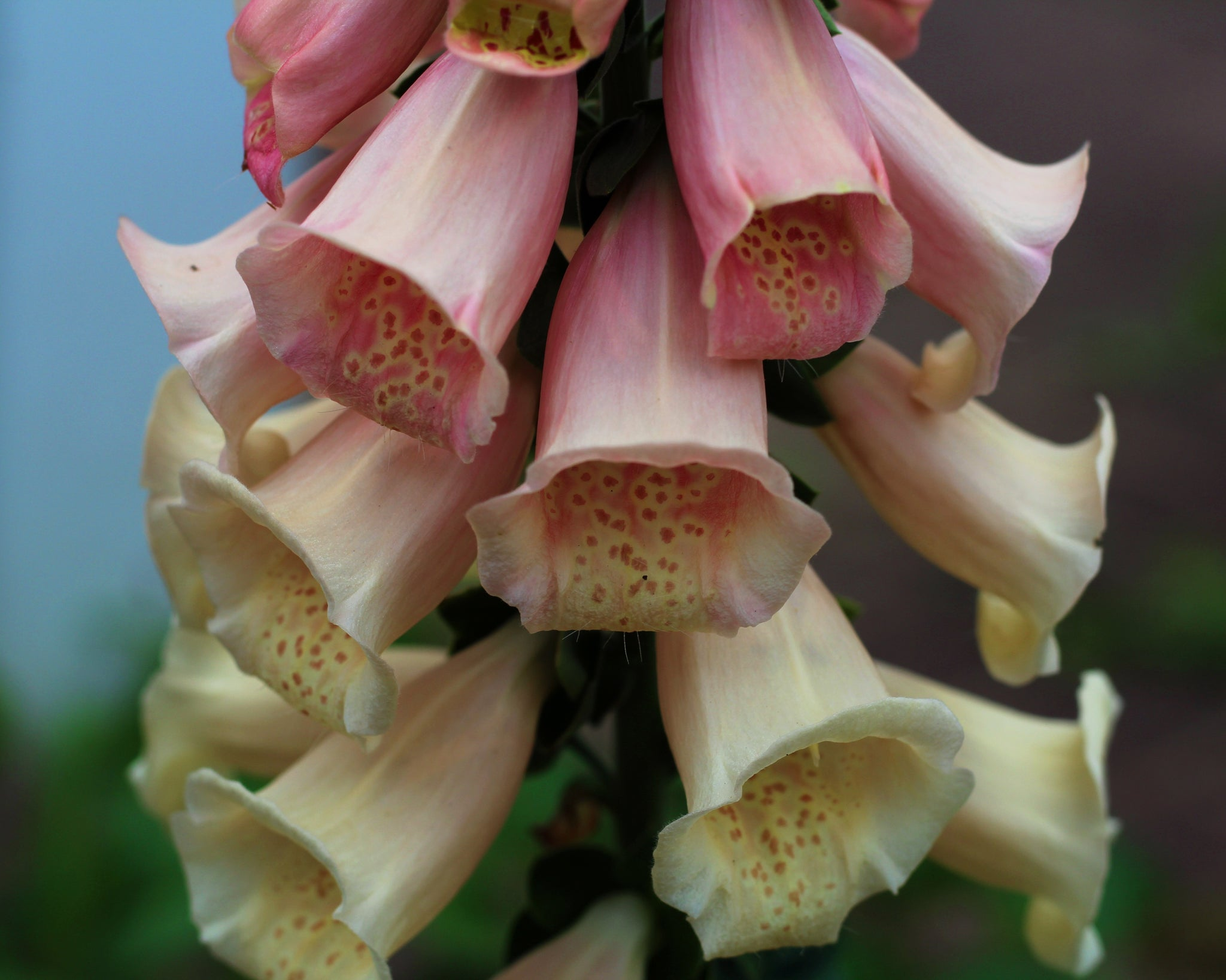 peach dalmation foxglove