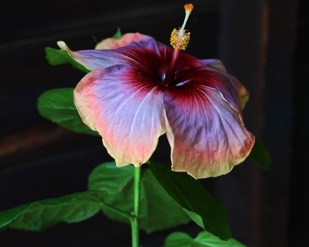 hibiscus space oddity