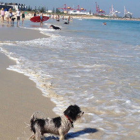 Photograph of a shaggy dog at Leighton Beach, Western Australia.