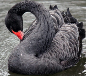 Photo of a black swan.