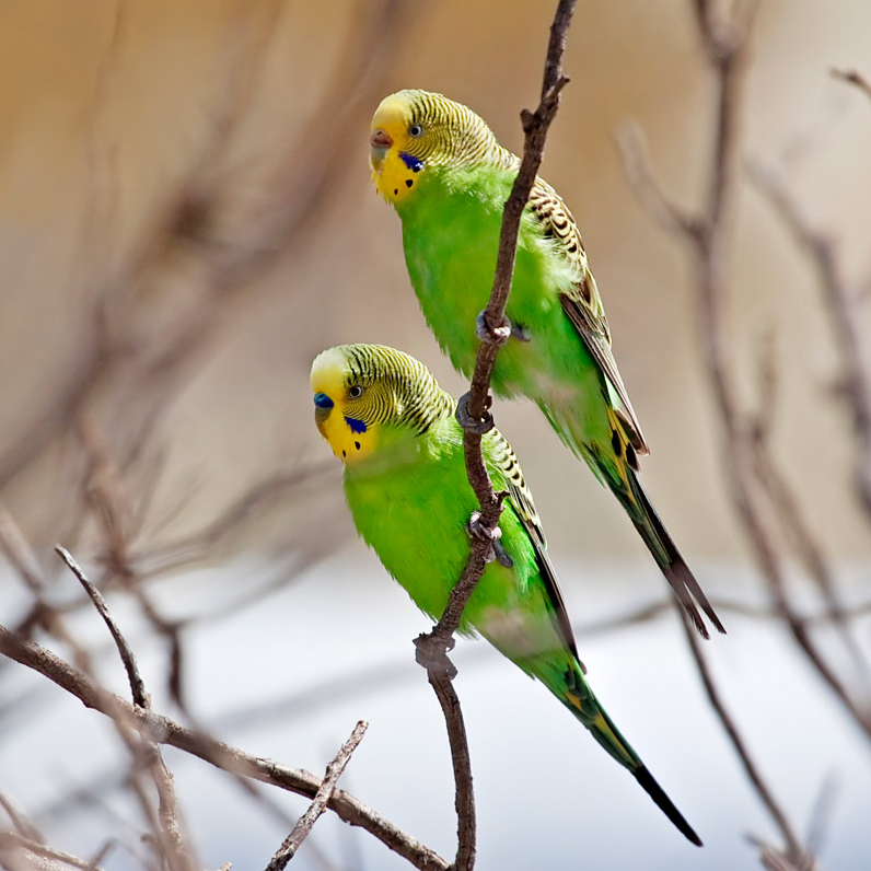 Photo of budgerigars in the wild.