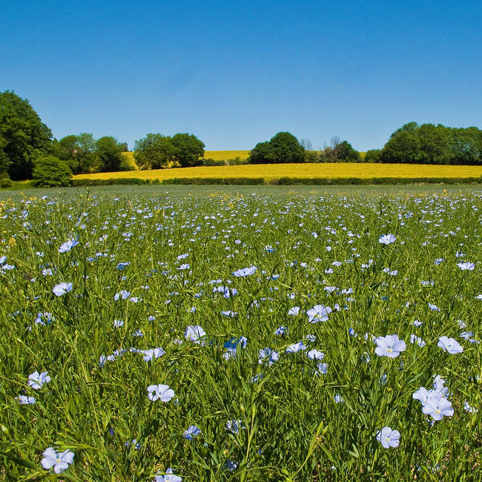 Photograph of flax crop in flower.
