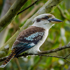 Photo of a Blue-winged kookaburra.