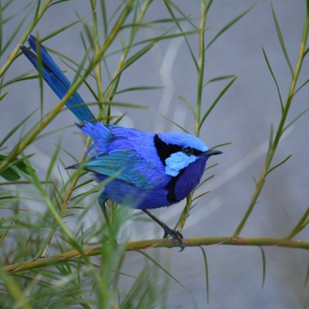 Photo of a Splendid Blue Fairywren.