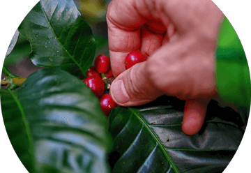Coffee Plant Crop