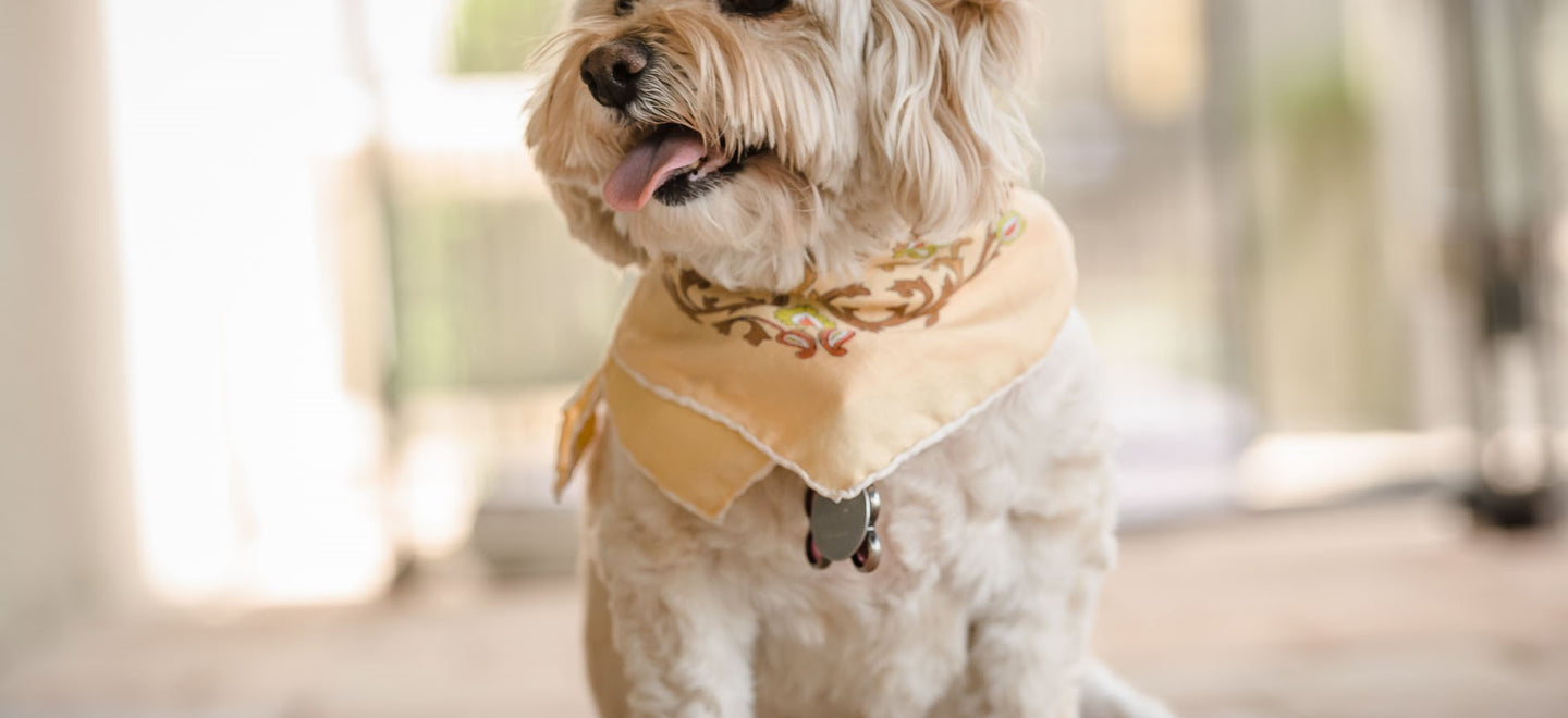 White small breed dog wearing bandana