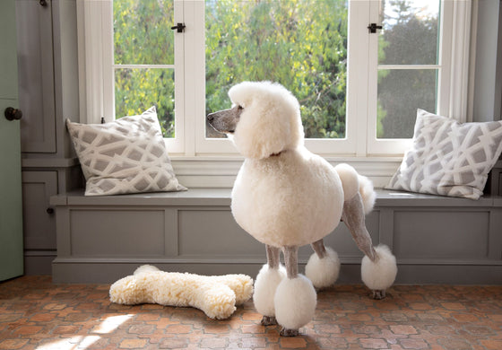 White Standard Poodle standing in front of window seat