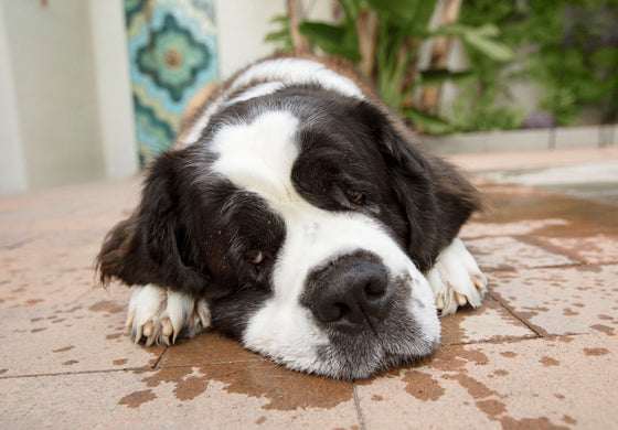 St. Bernard dog lying on patio