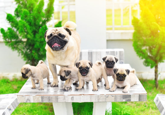 Pug mother with her puppies