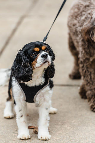 Cavalier King Charles Spaniel wearing harness