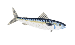 Illustration of real mackerel ingredient
