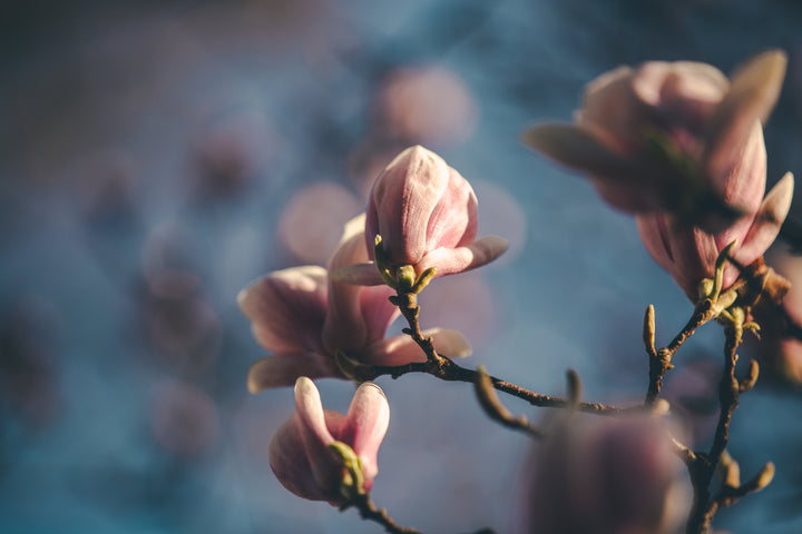 files/soft-magnolia-blooms.jpg