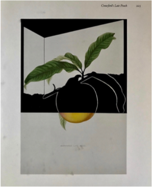 "Load image into Gallery viewer, ""Crawford's Late Peach"""