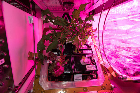 Lettuce grows on the International Space Station