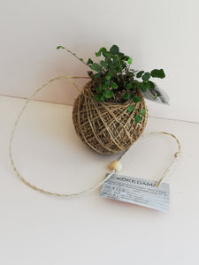 Button fern- Hanging kokedama